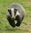 Badger-2-(wikibadger).png